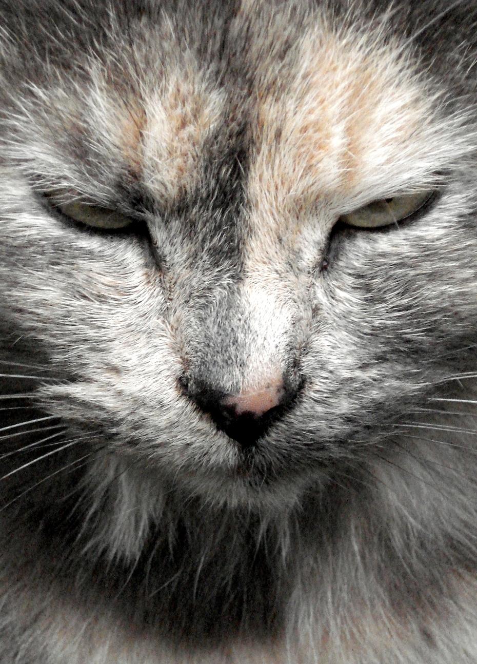 Portrait de chat tricolore 01 03 07
